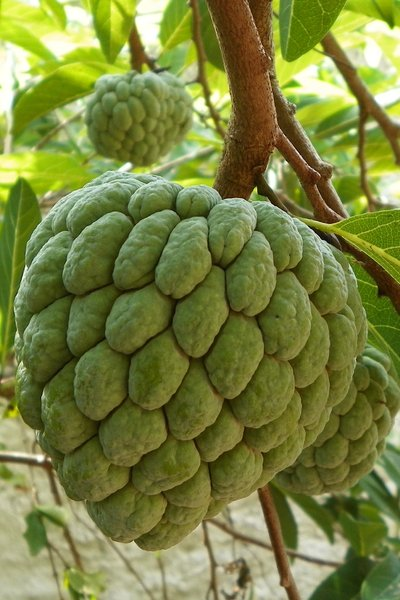 A fruit called sugar-apple: Fruit native to the tropical Americas