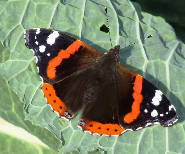 Butterfly on Cabbage Leaf: Red Admiral Butterfly resting on a Cabbage Leaf