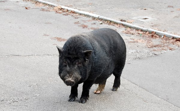 Black pig standing on the asph: Black pig standing on the asphalt road