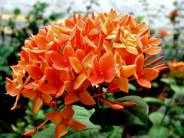 orange clusters: bright tight clusters of orange ixora flowers