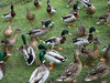 Dozens of ducks