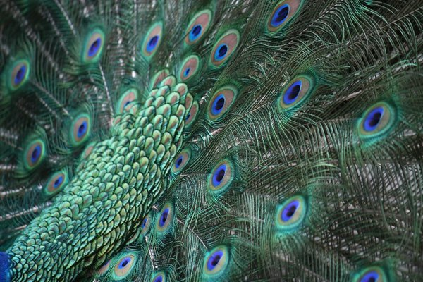 Peacock tail: Tail of a male peacock (Pavo cristatus) during display.