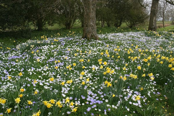 Spring flowers: Anemones and daffodils (Narcissus) flowering in the grounds of an English manor house in spring.