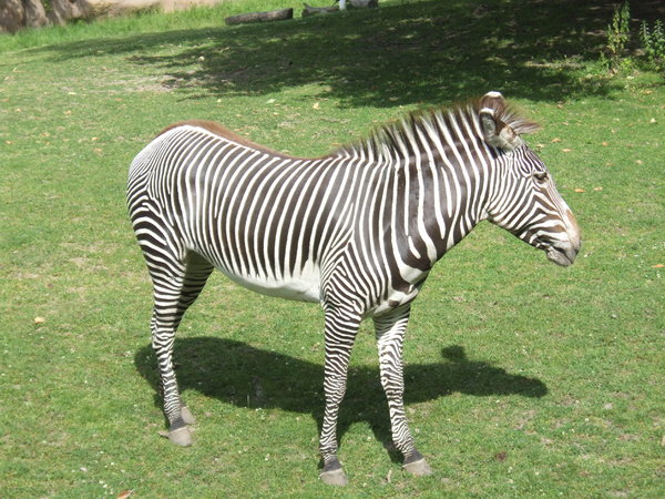 Zebra: A zebra from the zoo.