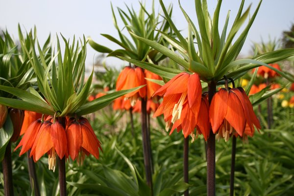 Imperial fritillary: Imperial fritillary (Fritillaria imperialis, also called Kaiser's Crown) growing in a garden in Devon, England, in spring.