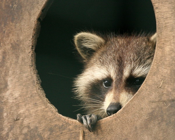 Raccoon Looking: A raccoon peeking out a round window