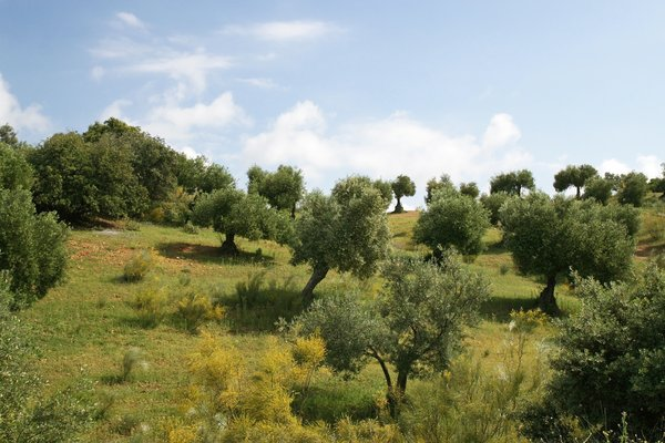 Olive tree hillside: Cultivated olive trees in Andalucia, Spain.
