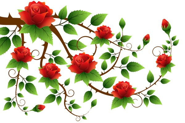 Roses Branch: Roses branch on the white background