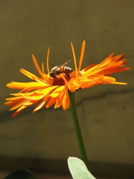 Marigold: Here is a Marigold & a bee enjoying it.
