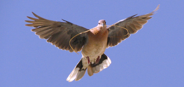 Dove_2: This time the same dove is taking a dried stem to her house. I've resized the photo & retouched colors.