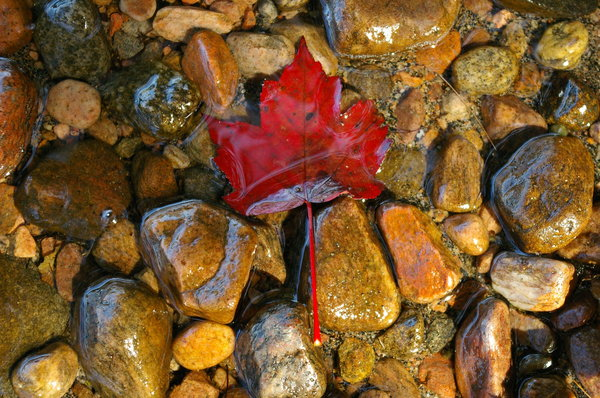 Water Leaf: A Maple Leaf on the shore line in the fall.