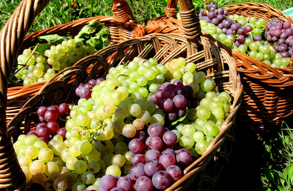 Basket of grapes 1: Baskets full of white and red grapes on early September morning.