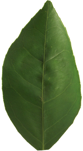 Citrus Leaf: no description
