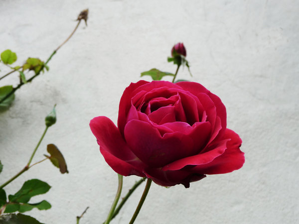 Red Velvet Rose: Rich red velvet hues of a climbing rose