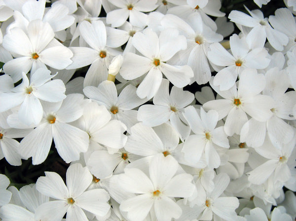 field of white: white phlox victorious.