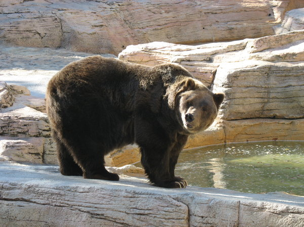 grizzly bear: a grizzly bear at assiniboine park zoo in winnipeg.