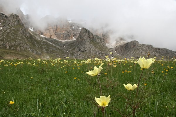 Mountain flowers: Alpine pasque flowers (Pulsatilla alpina) in the Dolomite mountains, Italy.