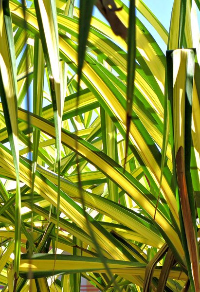 thru the foliage: bright green and yellow palm foliage