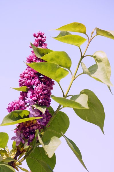 Flowering lilacs: Syringa vulgaris (Lilac) is a genus of about 20–25 species of flowering woody plants in the olive family (Oleaceae),
