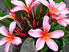 frangipani pink4