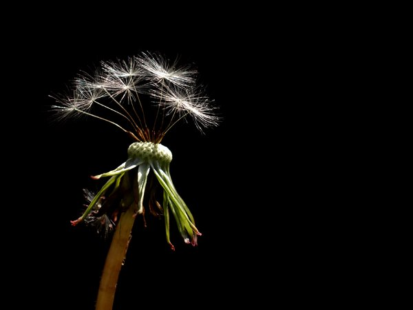Dandelion: Dandelion with seeds
