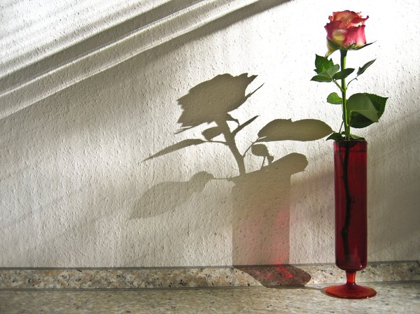 rose and shadow: rose and shadow