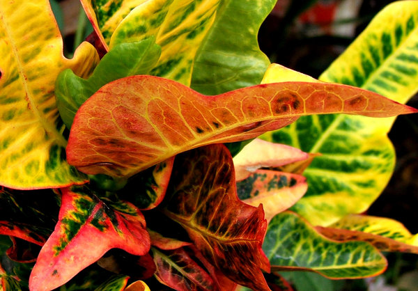 foliage colour2: large colourful broad leaved decorative plant foliage