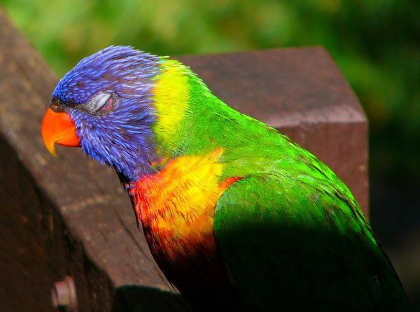 Rainbow Lorikeet Dozing: Rainbow lorikeet dozing in the sun. His third eyelid is covering the eye, so he can still see. I used to have a flock of about 20 to 50 visit me every day. Beautiful birds with jewel colours. They live on nectar - their natural food - but will eat some se