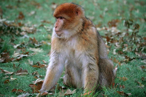 Barbary macaque monkey: Barbary macaque spotted in Apenheul Netherlands
