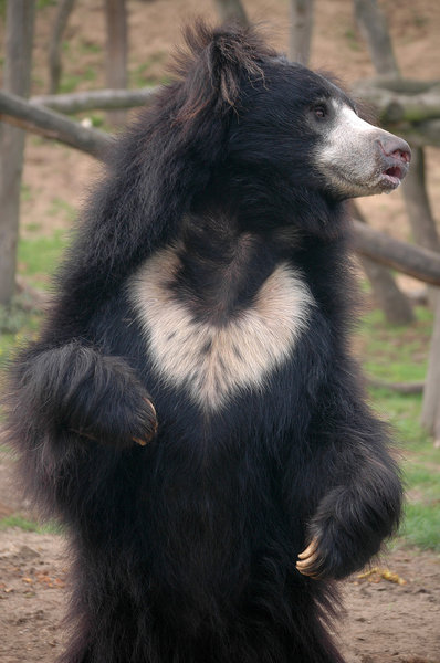 Sloth bear: Sloth bear spotted in Safaripark Beekse Bergen Netherlands