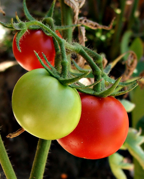 ripening tomatoes: ripening tomatoes on the vine/plant