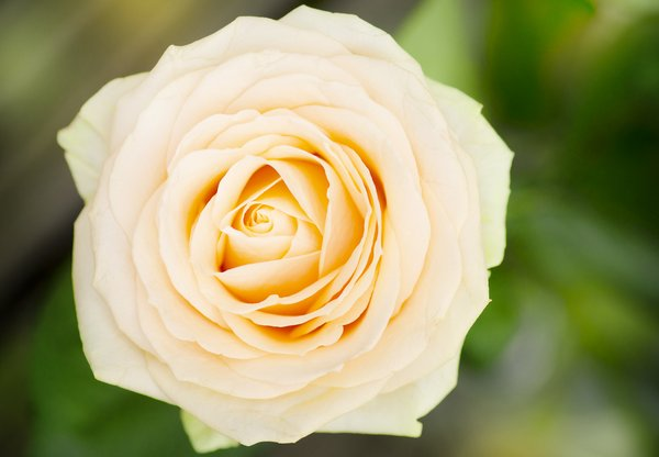 Yellow rose: big yellow rose
