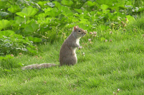 Grey squirrel: Or a chipmunk.