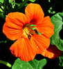 nasturtium flower - orange