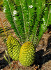 cycad cones1
