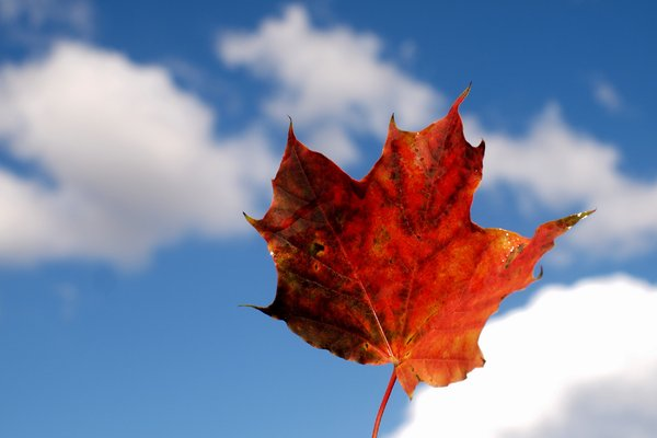 Autumn Leaf against blue sky: Autumn leaf against blue sky with clouds