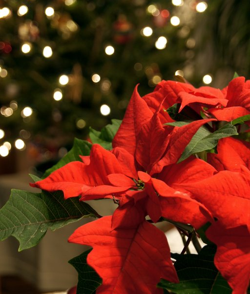 Christmas poinsettia: Euphorbia pulcherrima, commonly known as poinsettia. The name