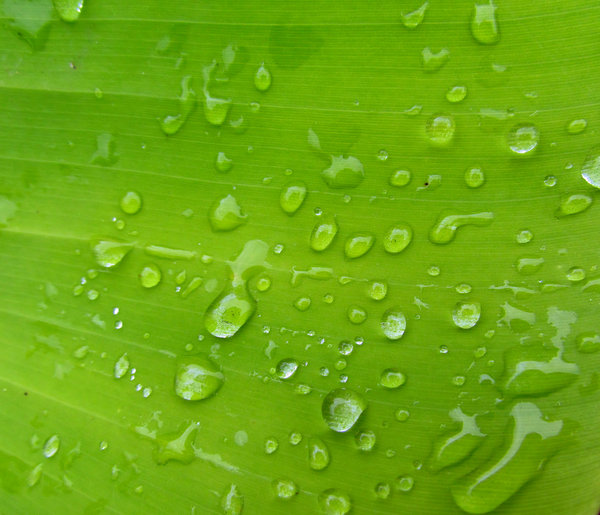 greenleaf raindrops: raindrops on large green leaf