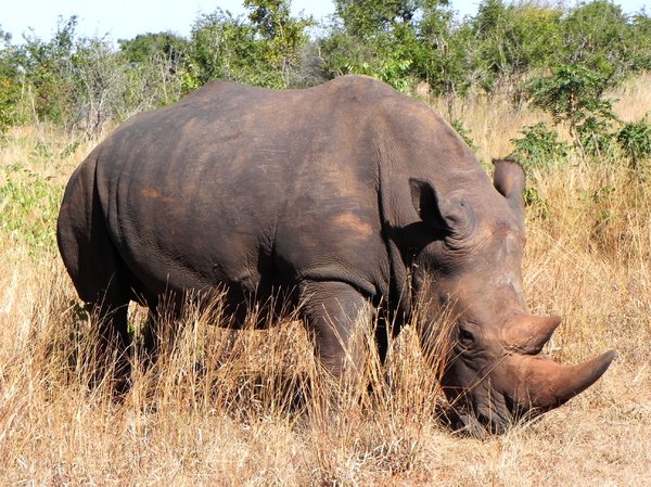 rhino in wilderness: none