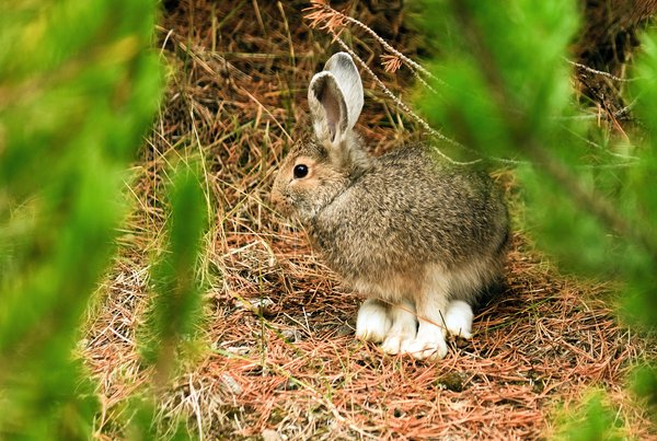 Snowshoe Hare: no description