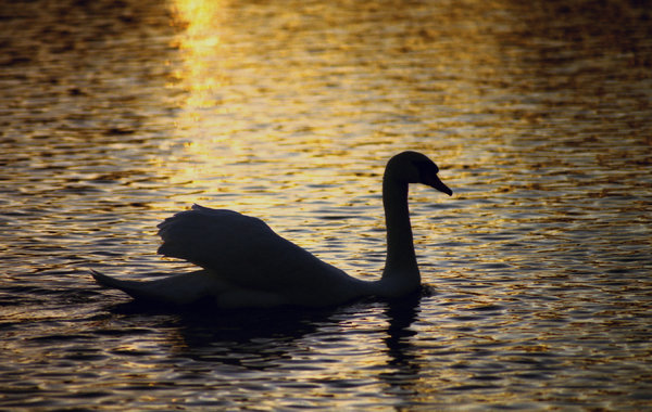 Swan Lake: Swan silhouetted on a lake at sunset