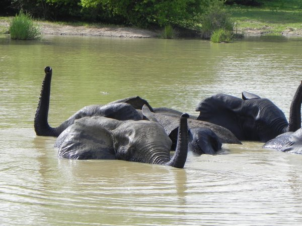 elephants bathing: photo taken in Ghana
