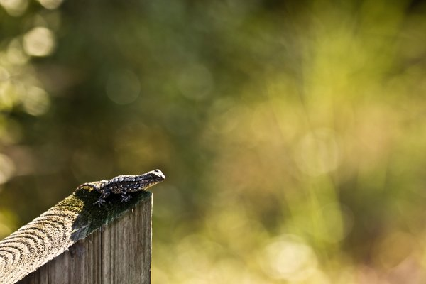 Fence Sitting: A Fence Lizard fence sitting.