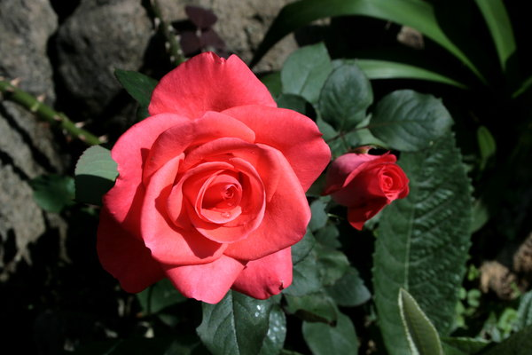 MOTHER AND CHILD: A rose in full bloom and a younger one starting to open.