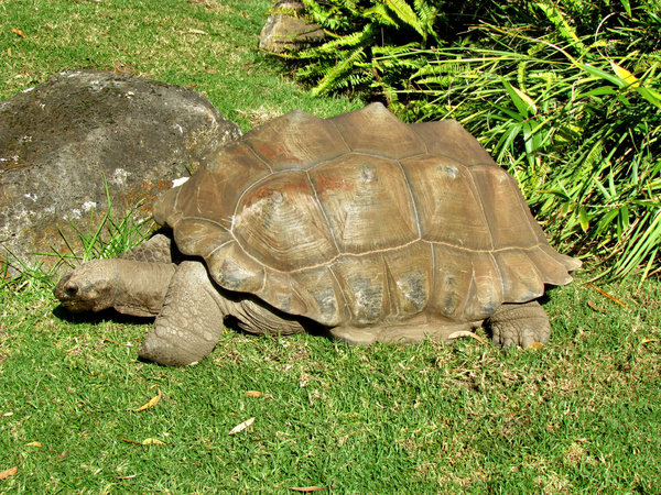 sticking your neck out5: aldabra giant tortoise sticking its neck out as it grazes on grass