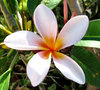 frangipani colour5