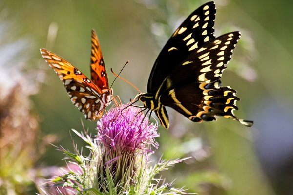 Butterflies Share: Fritillary and Swallowtail enjoy the nectar of this thistle.