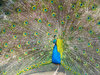 Peacock 1