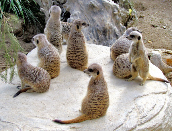 meerkat meeting: gathering of meerkats