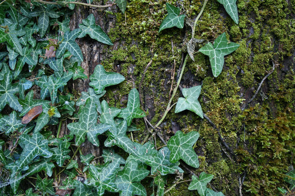 Moss, Ivy, and Tree Bark: Close up of ivy leaves growing on an old maple tree.